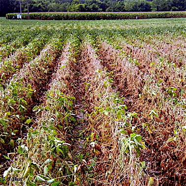 Field affected by charcoal rot