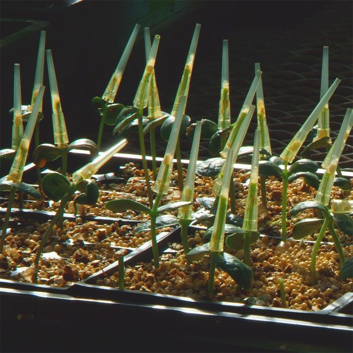 Greenhouse plants inoculated with the <em>Macrophomina phaseolina</em>