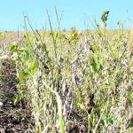 Soybean disease: Charcoal Rot - Plants affected by charcoal rot