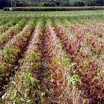 Soybean disease: Charcoal Rot - Field affected by charcoal rot