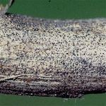 Soybean disease: Charcoal Rot - Stem showing macrosclerotia, the diagnostic feature of charcoal rot disease