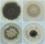 Soybean disease: Anthracnose - Four cultures of C. truncatum