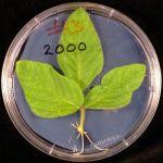 Detached leaf evaluation method