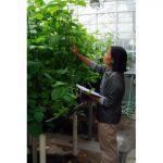 Dr. Nguyen Binh aids in soybean rust research.