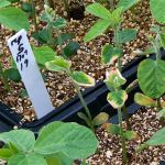 Soybean disease: Sudden Death Syndrome - Greenhouse seedlings showing susceptibility and resistance to SDS.