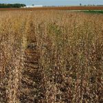 Soybean disease: Green Stem Disorder - Soybean field affected with green stem disorder.  Stems that remain green after seeds are mature cause problems by clogging harvesting equipment.