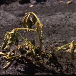 Soybean disease: Phytophthora Rot -