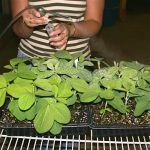 Inoculating plants with an atomizer.