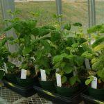 Soybean disease: Soybean Mosaic Virus - SMV test in the greenhouse.