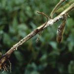 Soybean disease: Sclerotinia Stem Rot -