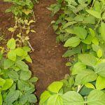 Soybean disease: Soybean Aphid - Susceptible plants (upper left) amidst resistant ones.