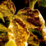 Soybean disease: Soybean Aphid - Withered and curled leaves, the result of extensive aphid feeding.